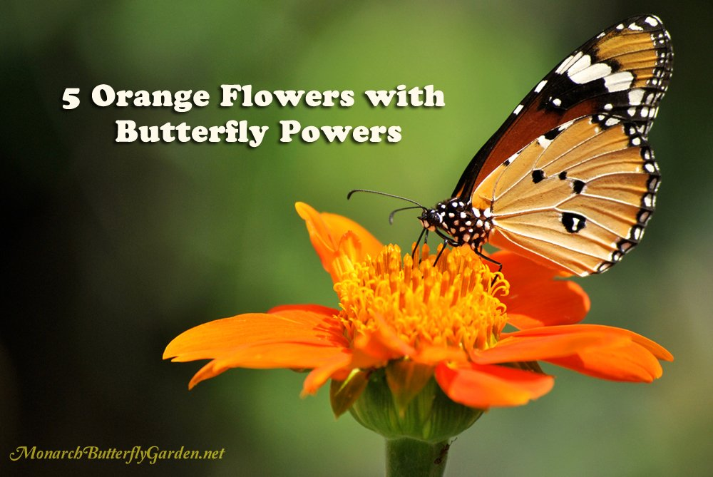 Superieur Looking For Beautiful Orange Blooms That Bring Home The Butterflies? 5  Orange Flowers With Butterfly