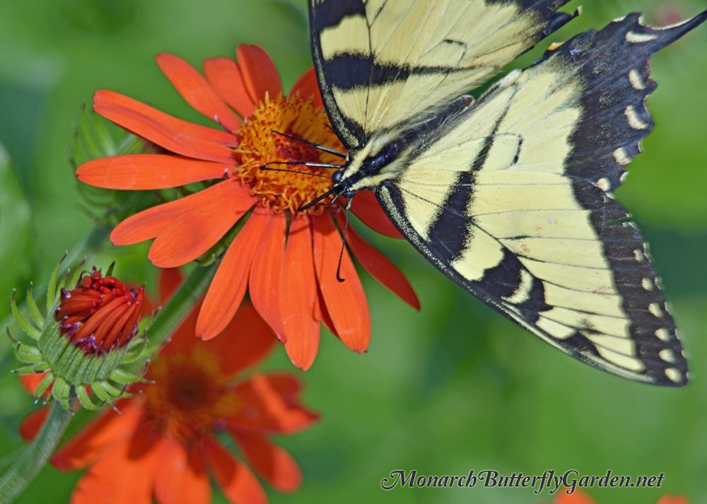 Eastern Tiger Swallowtails love the bright orange blooms of Mexican Flame Vine