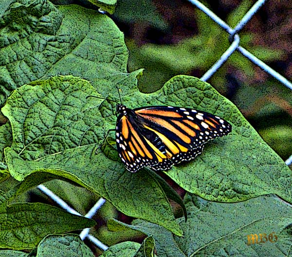 Our first monarch butterfly in 2013 arrived at the end of June and rested on a Mexican sunflower leaf