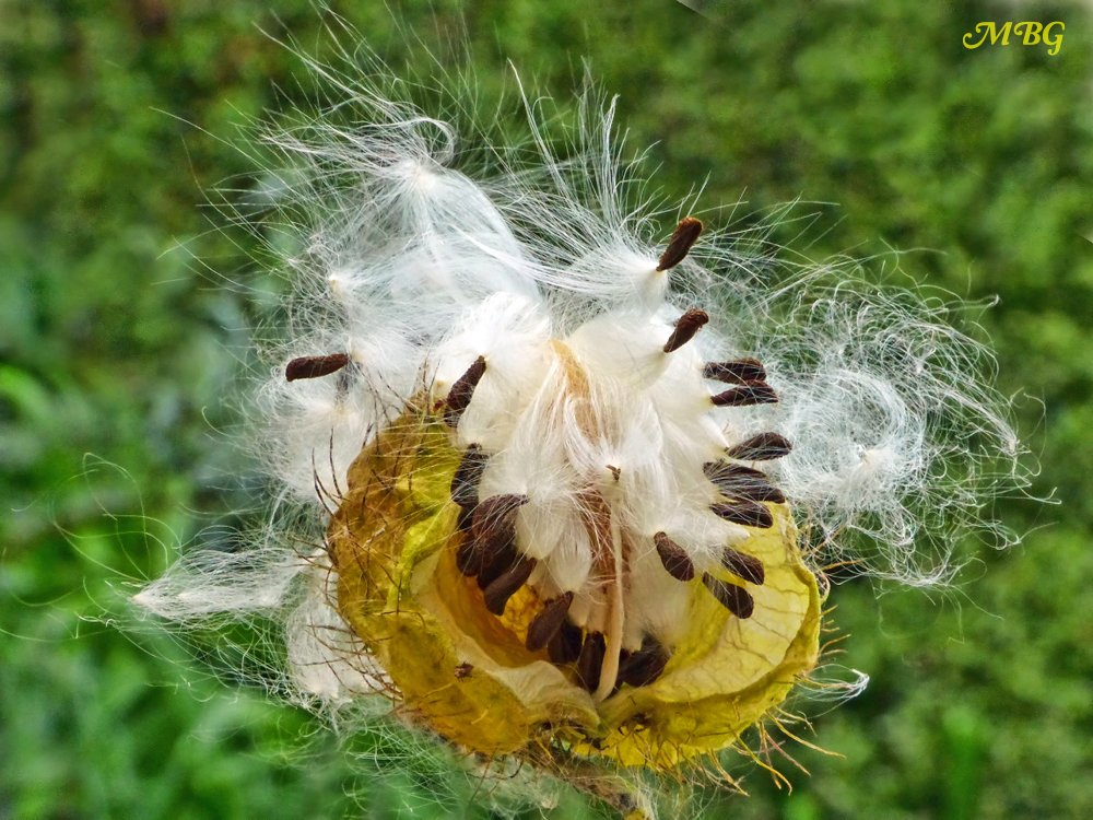 gomphocarpus fruticosus milkweed seeds for monarchs. Plant propagation and where to find these for your butterfly garden