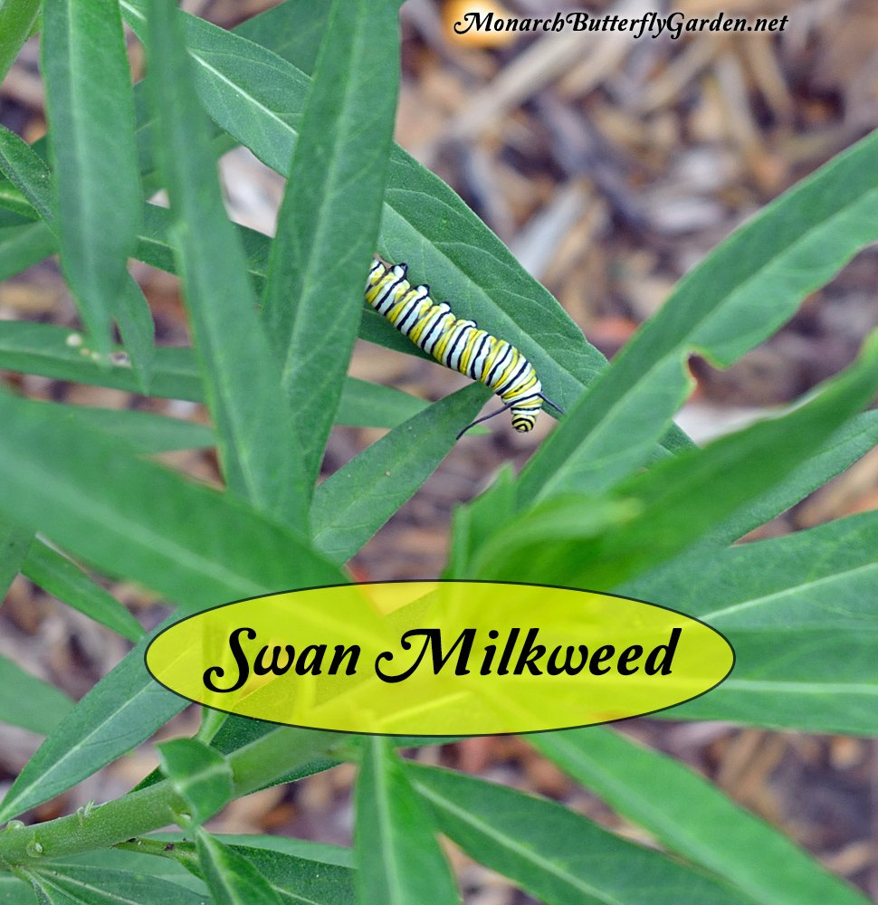 Swan milkweed is (surprisingly) a frequently used host plant for monarchs in the US. It grows quickly and can support caterpillars it's first growing season. It grows perennially in warm weather regions...
