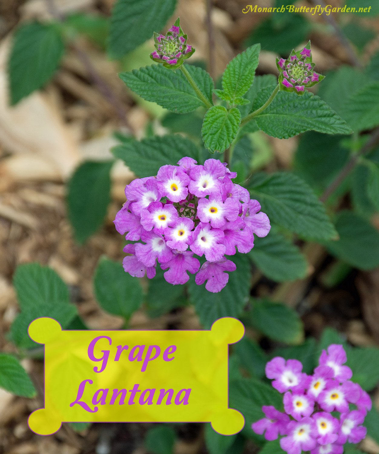 'Luscious Grape' Lantana Camara is a trailing lantana plant that works well as a container spiller or in raised beds. It attracts butterflies and other beneficial pollinators right to your garden doorstep.