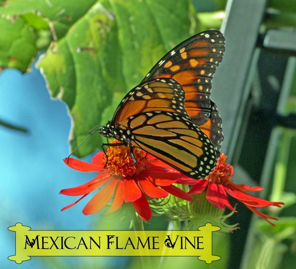 Mexican flame vine is a fast-growing climbing vine that will put out a brilliant display of orange flowers on your trellis. This bright butterfly plant is favored by monarch butterflies and other precious pollinators.