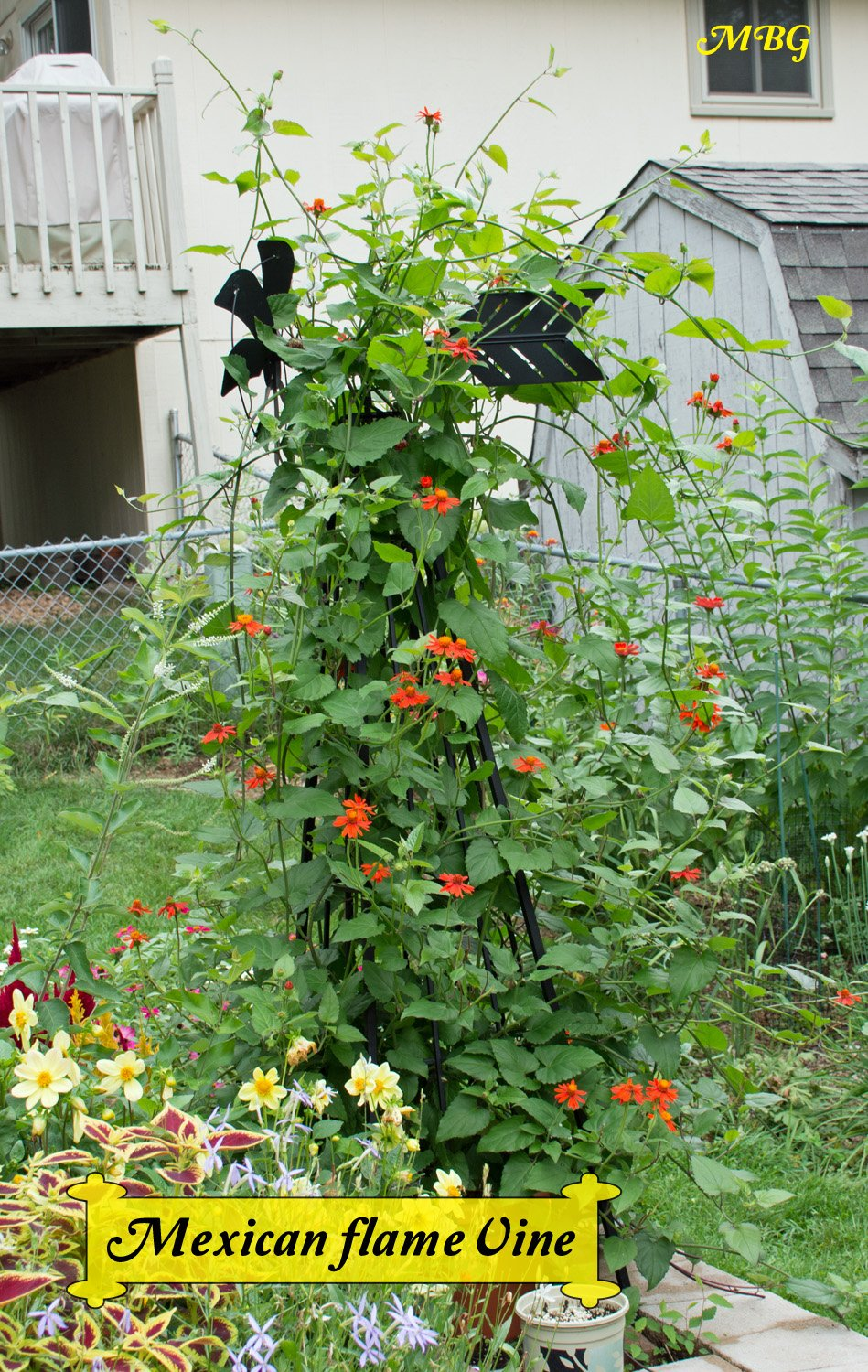 Mexican flame vine climbing vine for monarch butterflies mexican flame vine is a fast growing climbing vine that will completely engulf your trellis in mightylinksfo