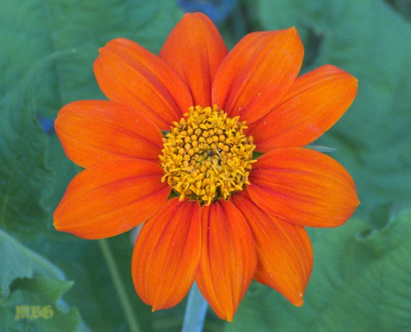 Mexican Sunflowers bloom all summer long and are an Absolute Favorite Nectar Flower for both Magnificent Monarchs and Hyper-winged Hummingbirds.