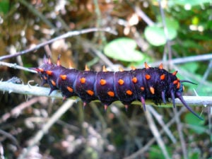 Aristolochia Gigantea : A Death Sentence for Pipevine Swallowtails