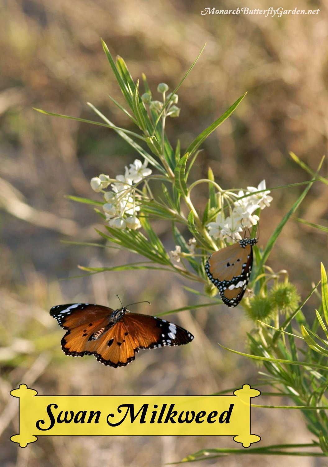 Uncommon Milkweed Idea- Two Danaus chrysippus (plain tiger butterflies) enjoy swan milkweed flowers. Plant this variety to attract Danaus plexippus (monarch butterflies) to your butterfly garden.