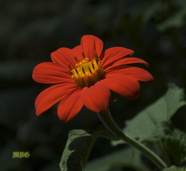 A contrasting Orange flower of Tithonia rotundifolia