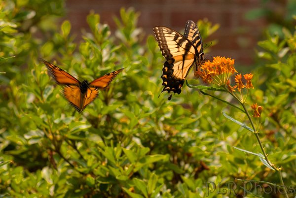 Butterfly Weed is a popular nectar stop for many butterflies and their pollinator friends.