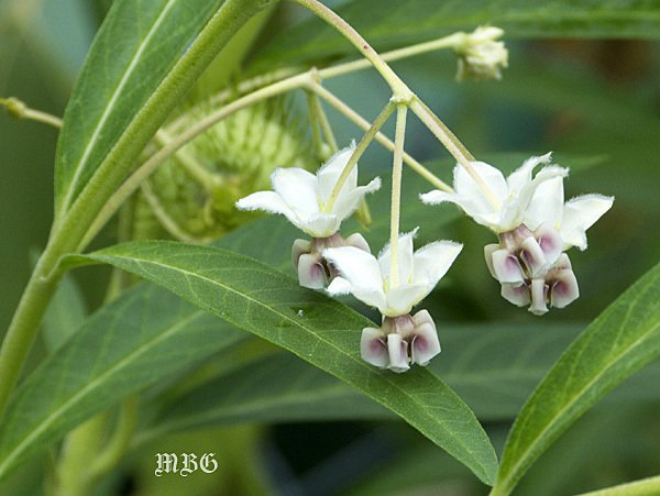 Balloon Plant Milkweed Flowers are Creamy White with Pretty Purple Highlights. The flowers contrast nicely against dark green milkweed leaves.