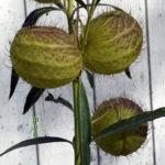 Goose Plant Milkweed Seed Pods