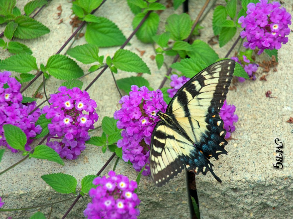 Trailing purple lantana flowers are a popular nectar source for swallowtail butterflies and other precious pollinators.