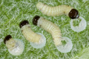 Caring for Baby Caterpillars- Raise the Migration 2019