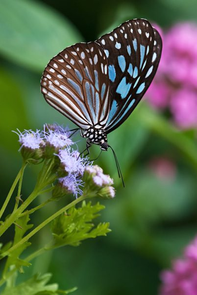 Gregg's mist flower is a popular butterfly plant in both the U.S. and around the world. This dark blue tiger butterfly is one of its international fans. Learn how to grow this butterfly magnet in your garden.