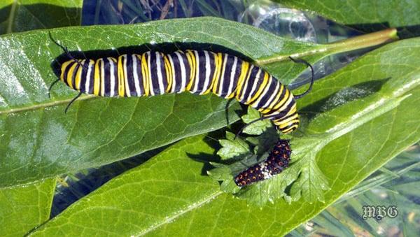 Monarch caterpillar meets a black swallowtail
