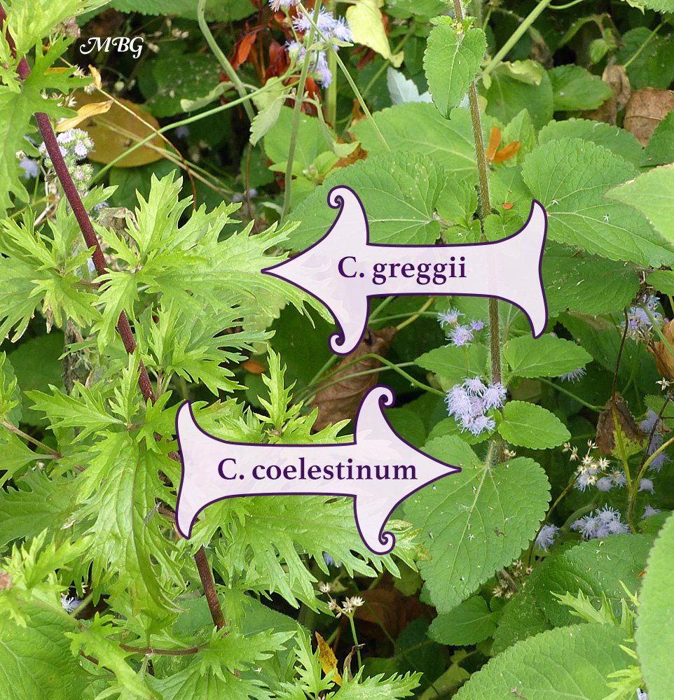 How to tell two monarch magnet mistflowers apart? Look at their leaves. Find out more about these monarch butterfly plants...