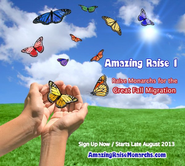 Amazing Raise 1- Join North America in Raising Monarch butterflies to release for the fall monarch migration. Help save monarch butterflies for future generations.