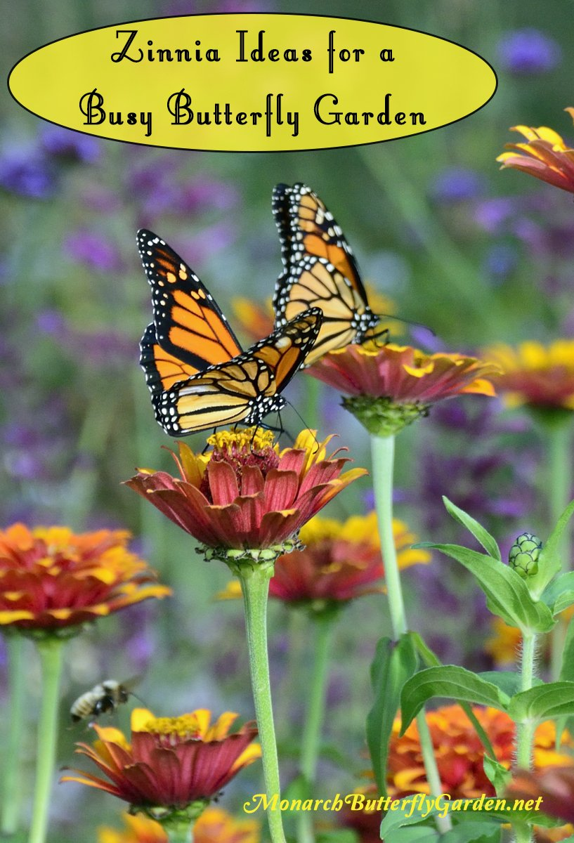 Try planting these Big Zinnia Flowers for a Busy Butterfly Garden, plus one Dwarf Idea...