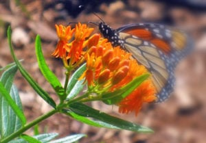 Monarchs Disappearing from Minnesota Gardens