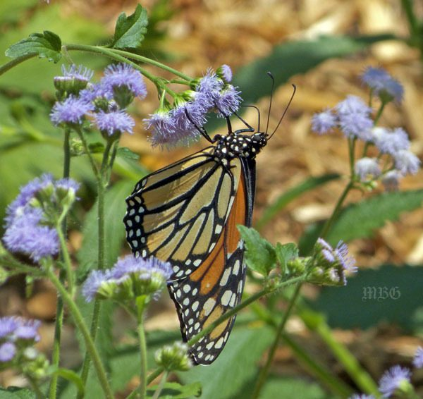 Conoclinium Coelestinum- Blue Mist Flower is one of the rare butterfly plants that can entice monarch butterflies to seek nectar nourishment at ground level.