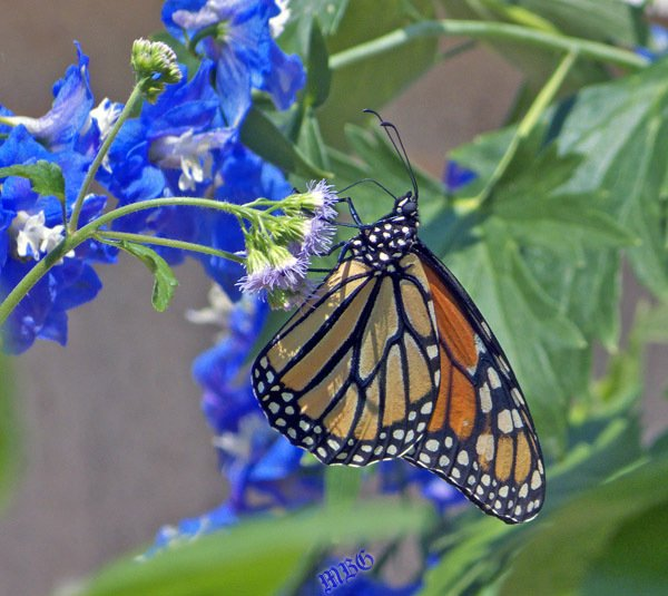 What's a popular nectar source for monarchs? This monarch female (and many of her relatives) can't resist the sweet taste of Texas Mistflower. More info and photos...