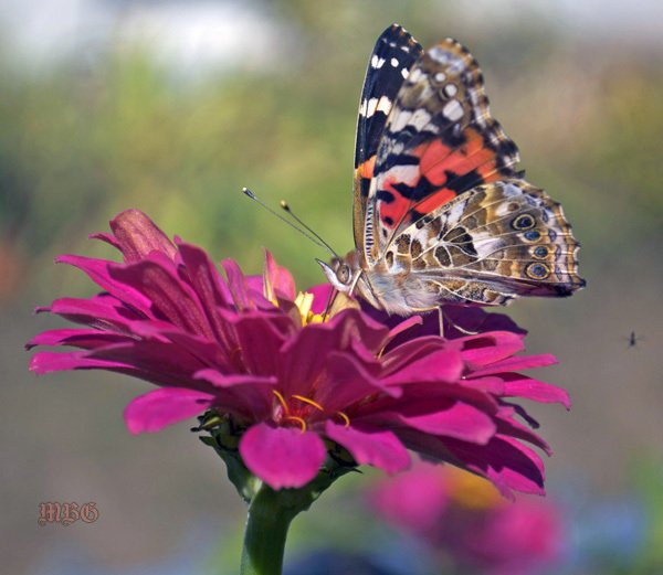 California Giant Zinnias attract all the (Painted) Ladies