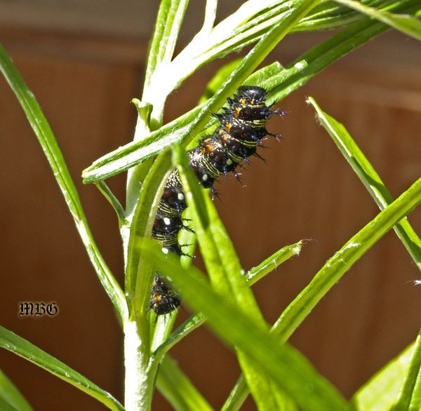 American Painted Lady larvae love Pearly Everlasting, and can be easily raised indoors on pearly stem cuttings.