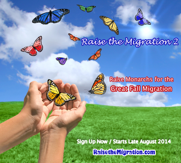 Raise Monarch Butterflies for the Fall Monarch Migration