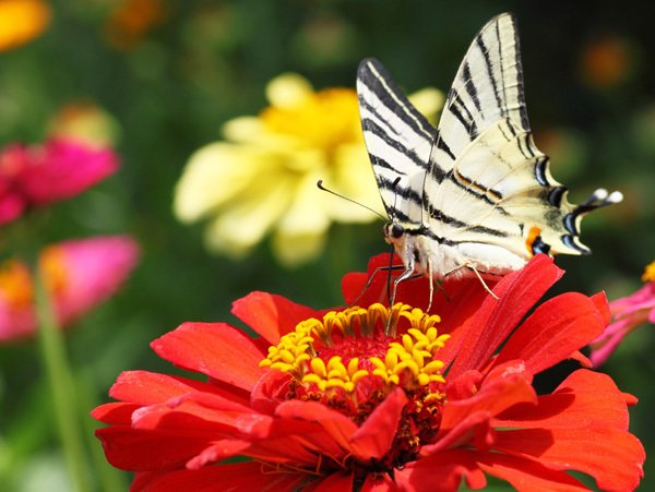 Zebra Swallowtails are one of the Many Butterflies that love to savor the sweet taste of Tall State Fair Zinnias- 5 Big Zinnia Flower Ideas