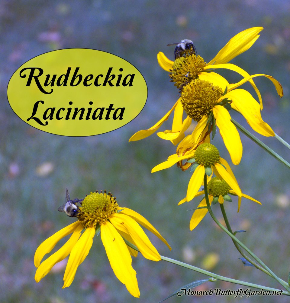 Rudbeckia laciniata coneflower late season nectar source cutleaf coneflowers are a pollinators delight the bright yellow flowers bloom later in summer mightylinksfo