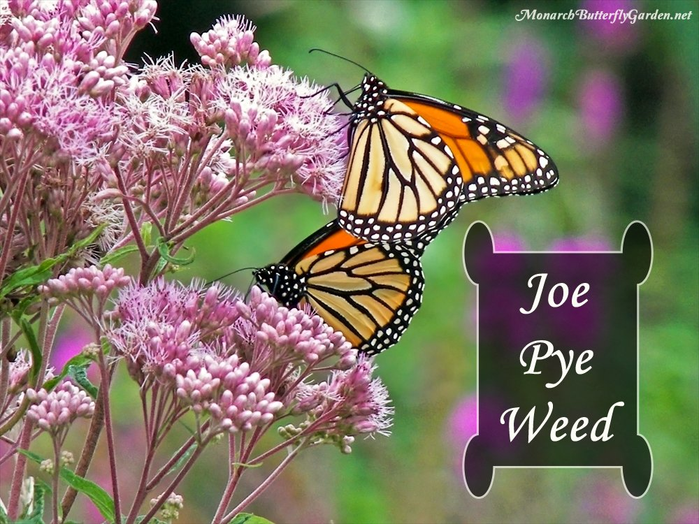 Spotted Joe Pye Weed is a late season nectar source that attracts monarchs, swallowtails, and a bounty of other butterflies and 'smallinators' during the sweet days of summer. Learn how to grow 'Joe' in your garden.