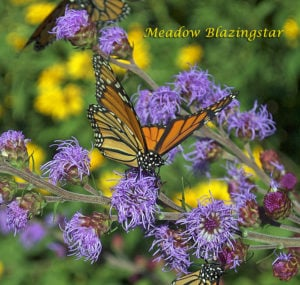 Meadow Blazingstar Attracts Monarchs from Miles Away and is a Popular Plant for the Monarch Migration.