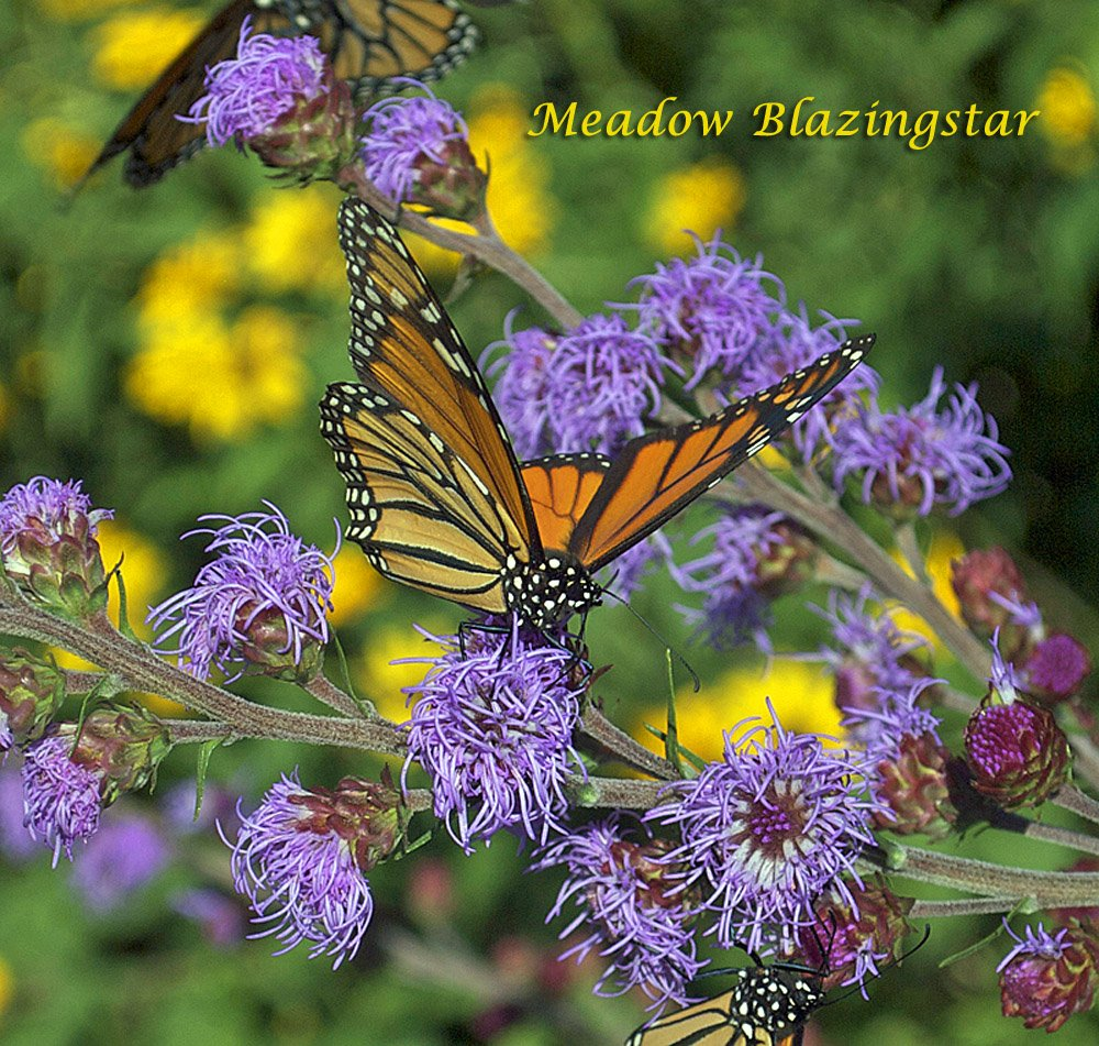 Meadow Blazing Star Attracts Monarchs from Miles Away and Gives Butterflies Energy for the Long Monarch Migration ahead.