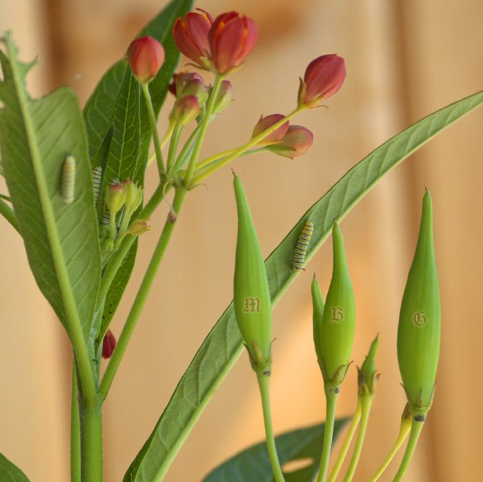 4 Baby Monarch Caterpillars on a Tropical Milkweed Cutting