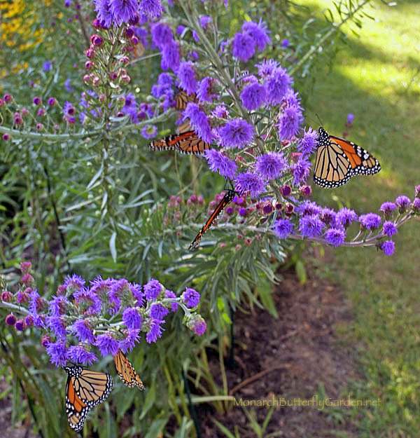In the later summer days leading up to the monarch migration, swarms of monarchs swoon over meadow blazing star blooms.