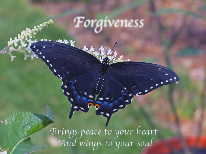 Black swallowtail female illustrates a quote about forgiveness