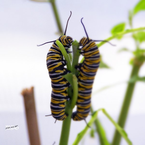 Monarch Caterpillars Stripping Tropical Milkweed