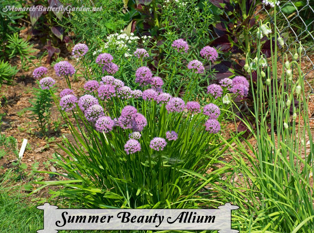 Allium angulosum is an ornamental onion that is a top choice for attracting butterflies and pollinators to your garden. The pinkish globe-shaped flowers have a long summer bloom period and the leaves are pretty too...almost reminiscent of an underwater sea anemone.