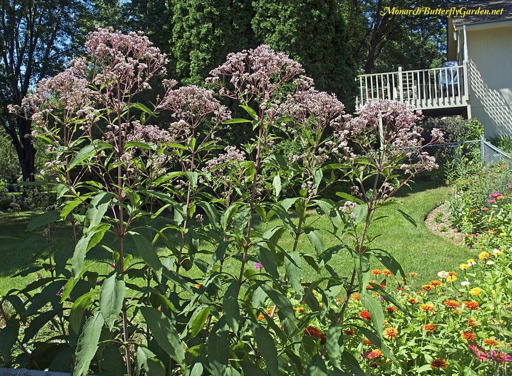 A full grown Joe Pye Weed (Eutrochium maculatum) towers over the butterfly garden.