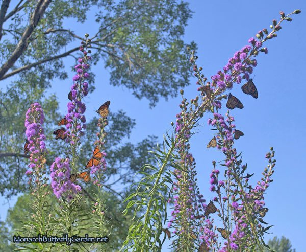 Liatris ligulistylis is a popular monarch migration snack