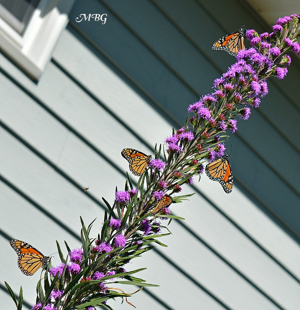 In favorable growing conditions, meadow blazingstar stalks can reach 7 feet and host a lively monarch butterfly garden party. Get more details on this magnificent liatris species and see if it can be grown in your region...