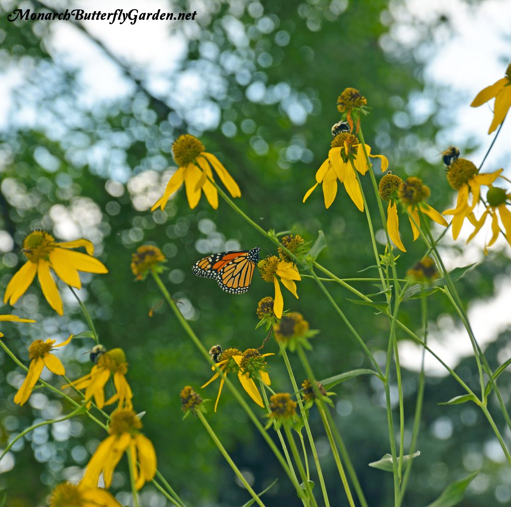 Bumble bees can't get enough of Rudbeckia laciniata. Monarch Butterflies also enjoy sipping nectar from cutleaf coneflowers when one of the bumble bees goes on break.