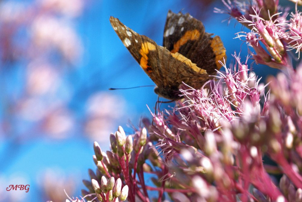 Red Admirals are frequent visitors to our northern butterfly garden. They like many of the same nectar flowers as monarchs, including Joe Pye Weed. See if this amazing late bloomer will grow in your region...