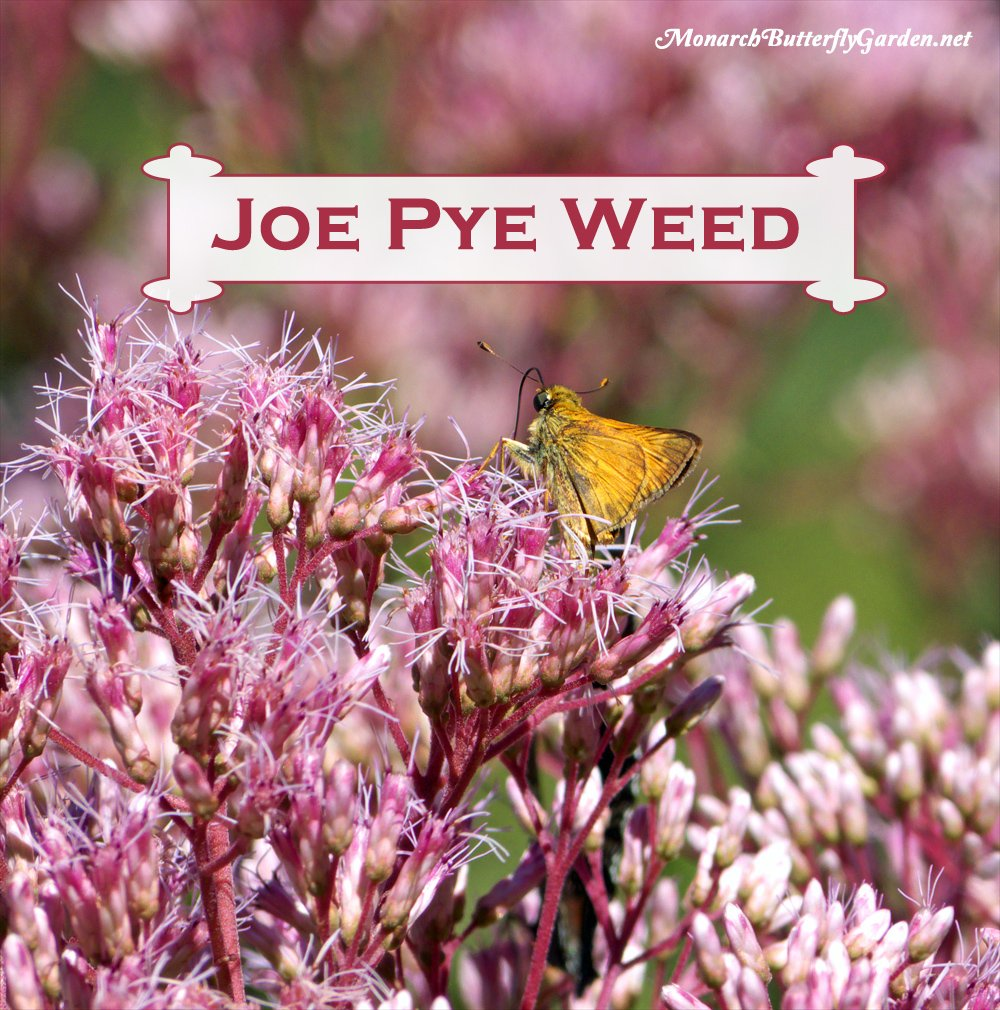 Spotted Joe Pye Weed is a late season nectar source that attracts monarchs, swallowtails, and a bounty of other butterflies and 'smallinators', like this skipper, during the sweet days of summer. Learn how to grow 'Joe' in your garden...