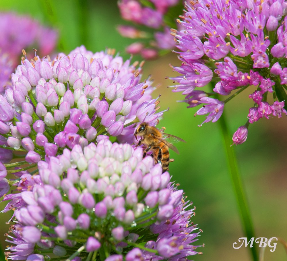 Honey bees savor the sweet taste of summer beauty allium. Learn more about this less common allium variety and see if it's a good fit for your pollinator garden?