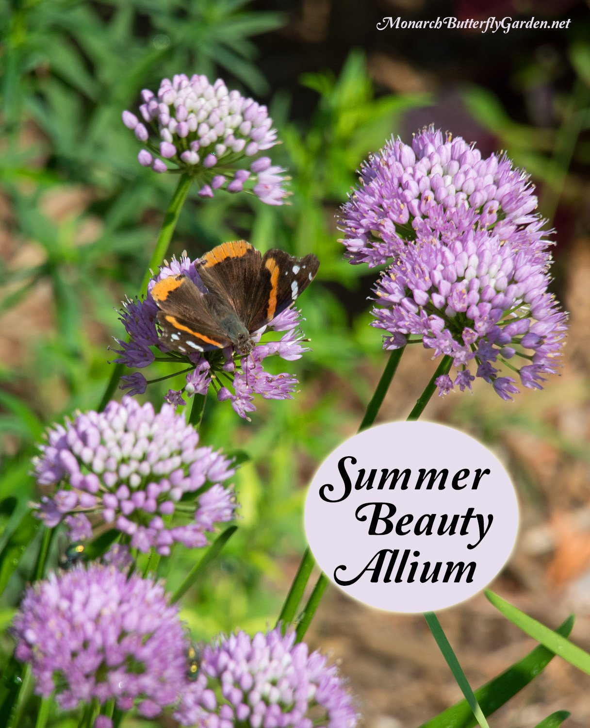 Summer beauty allium is a pollinator haven during the prime time of butterfly season. Its showy, pink blooms attract butterflies and bees, while repelling those annoying aphids!