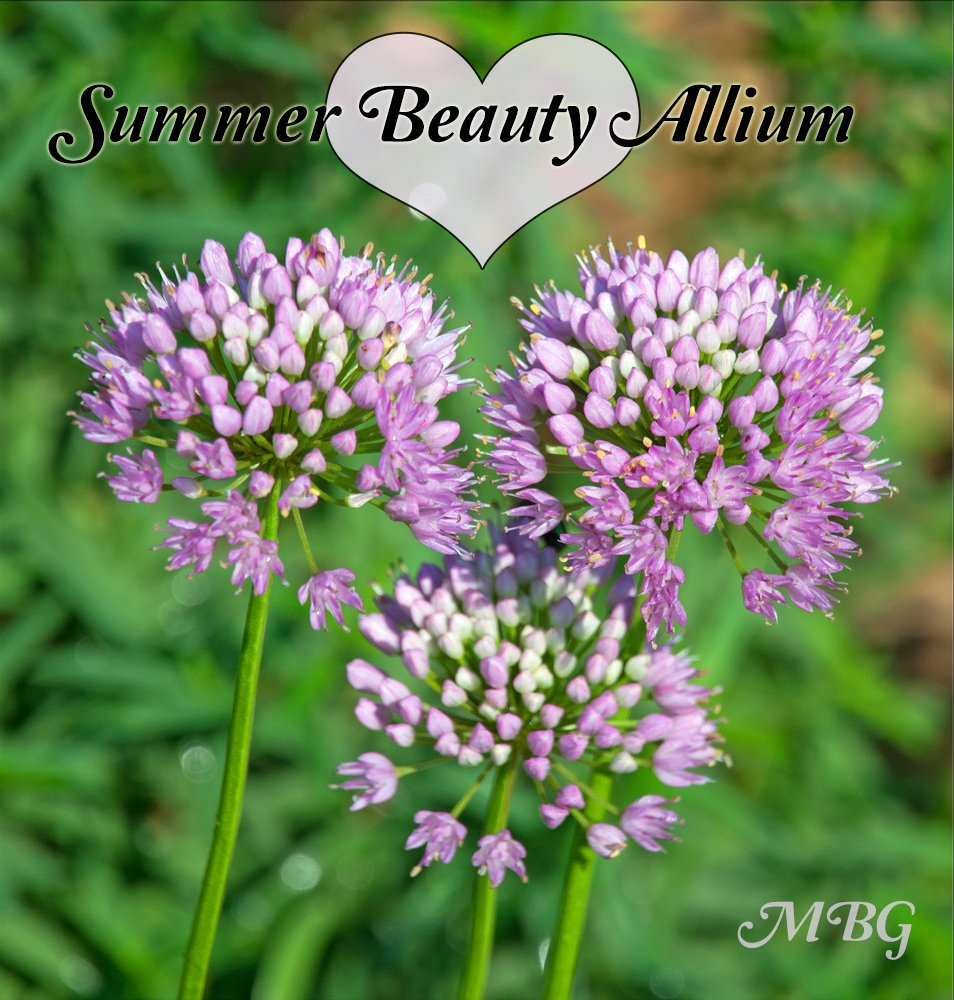 Summer beauty allium flowers have a long summer bloom period and are a showy addition to the butterfly garden with their pinkish lavender blooms.