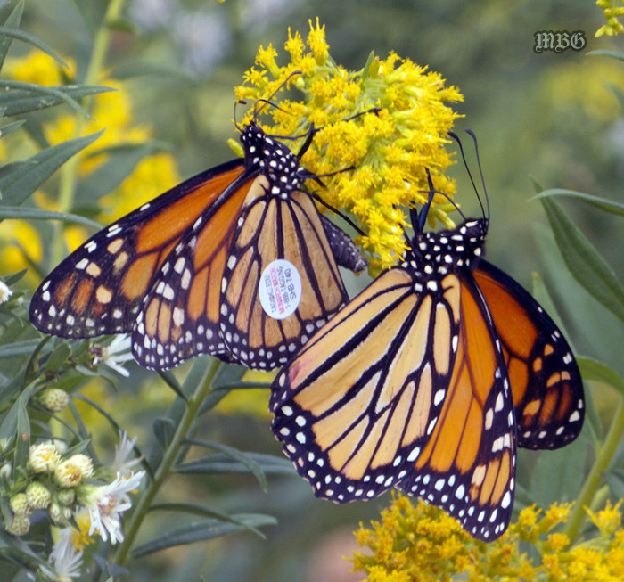 Releasing Butterflies for Fall's Annual Monarch Migration