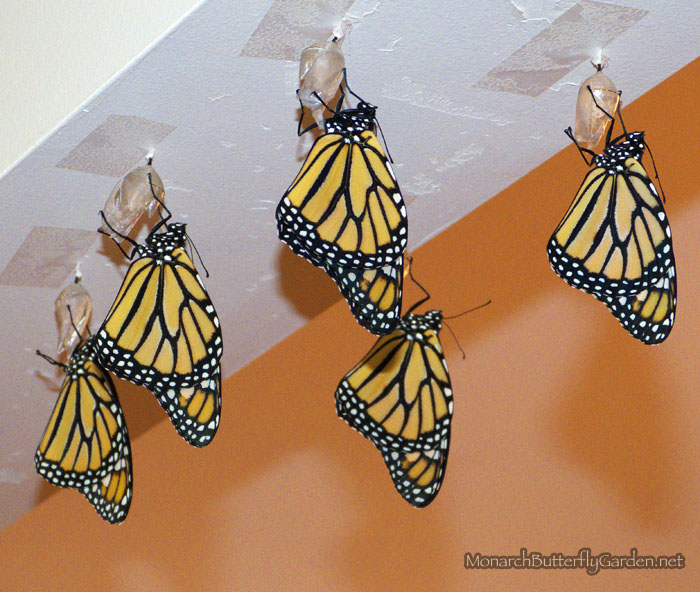 Mass Monarch Hatching for 2013 Monarch Migration