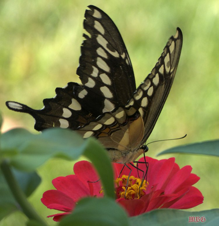 Giant Swallowtail Butterfly on Red Zinnia